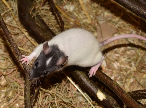 rat animal rodent