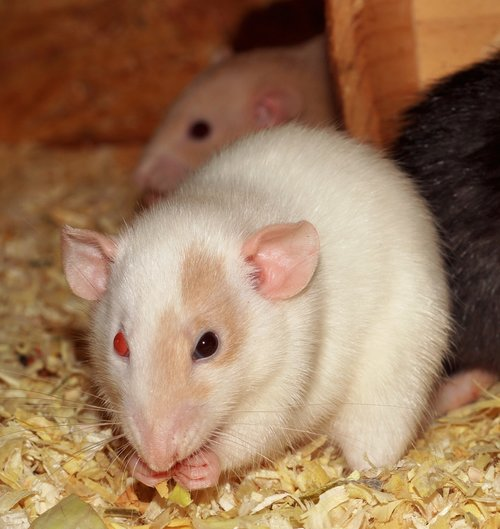 rat  female  different colored eyes