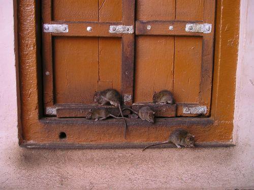 rat india rat temple