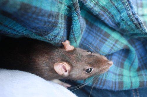 rat  flannel  pet