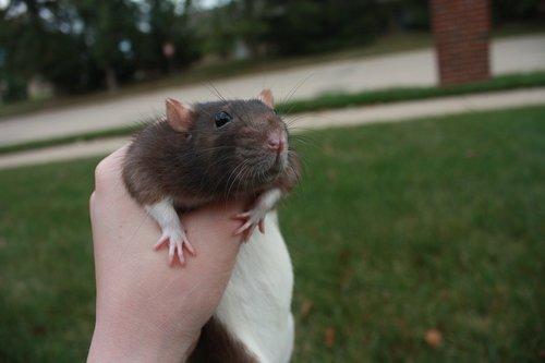 rat  grass  pet
