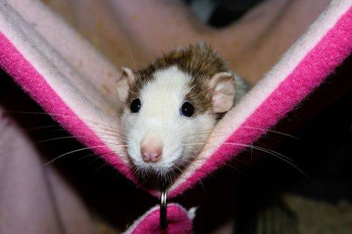 rat  female  color rat