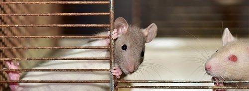 rat  color rat  small