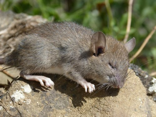 rat  rat field  rodent