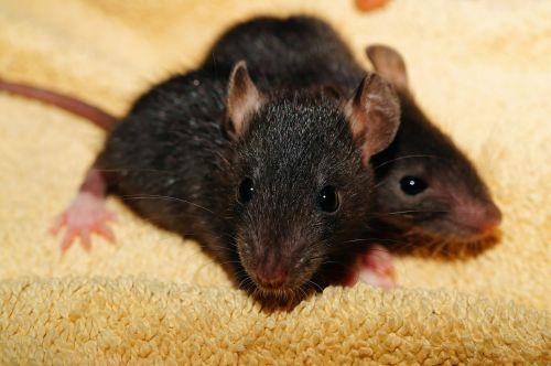rat rat babies black