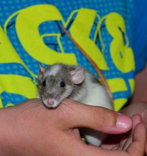 rat color rat animal