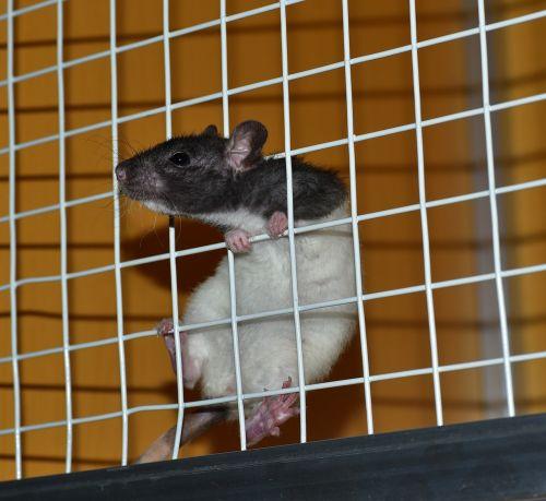 rat cage laboratory