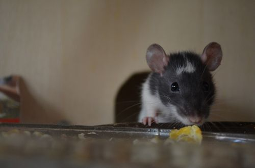 rat animal nager