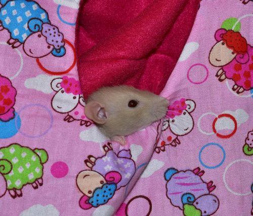 rat rodent eat