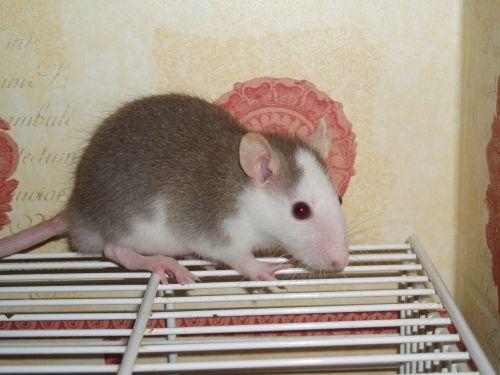 rat pet rodent