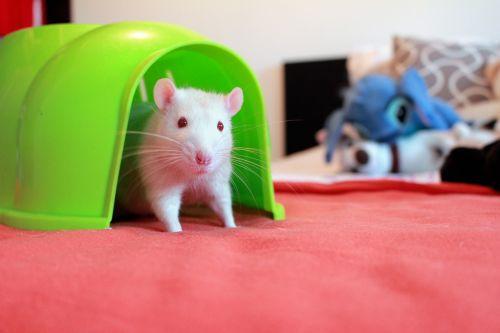 rat home albino rats rat house