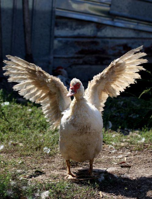 rate wings lying