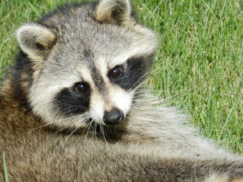 Raccoon # 1