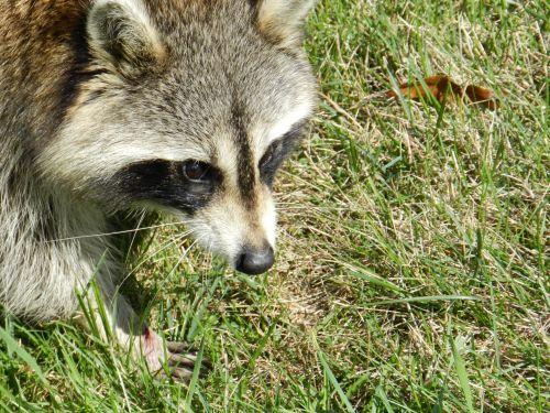 Raccoon # 2