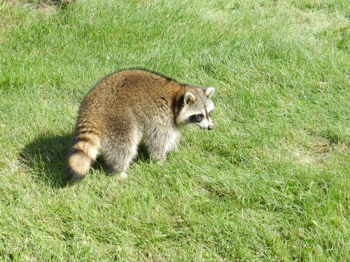 Raccoon # 3