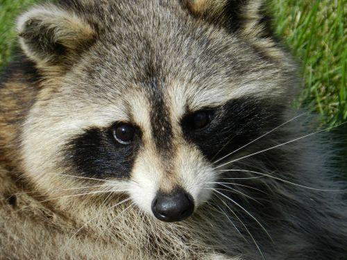 Raccoon # 4
