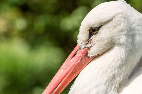 rattle stork red beak bird