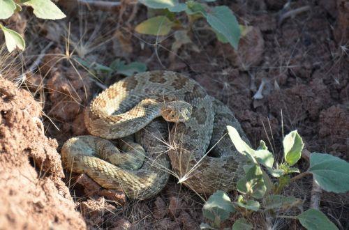 rattlesnake reptile desert