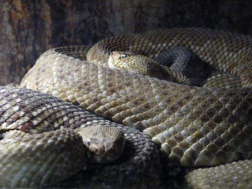rattlesnake be snake