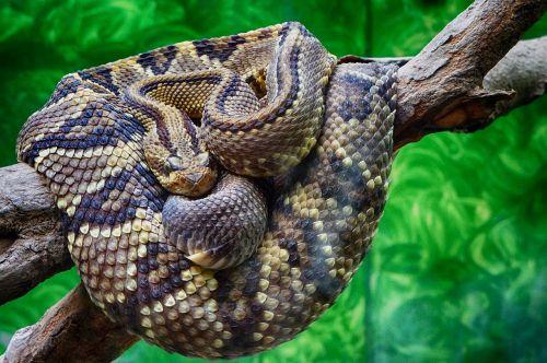 rattlesnake snake scales