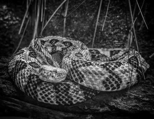 rattlesnake snake viper
