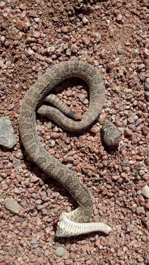 rattlesnake dead desert