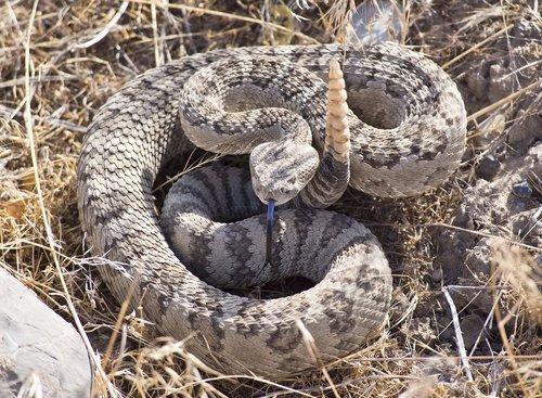 rattlesnake  viper  coiled