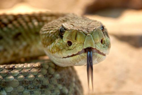 rattlesnake toxic snake