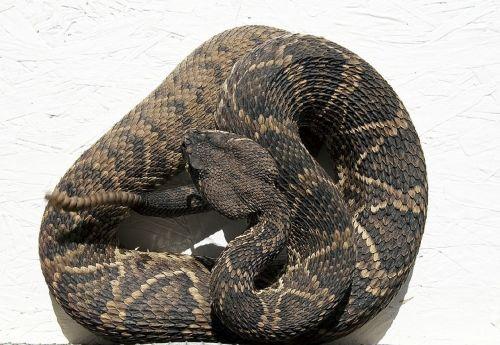 rattlesnake viper reptile