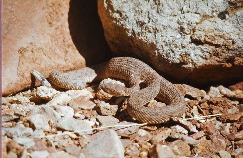 rattlesnake viper poisonous