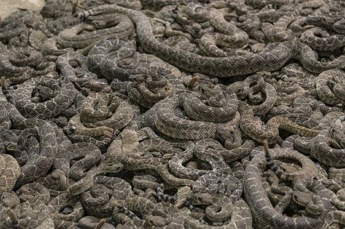 rattlesnakes pit vipers
