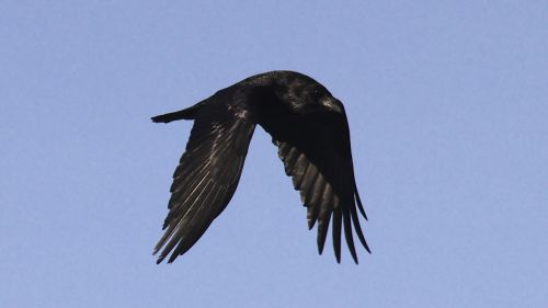 raven bird flying