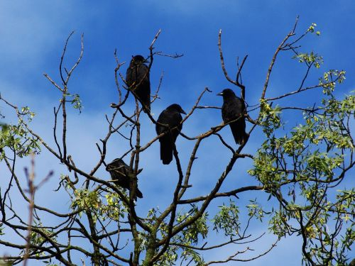 raven bird animal