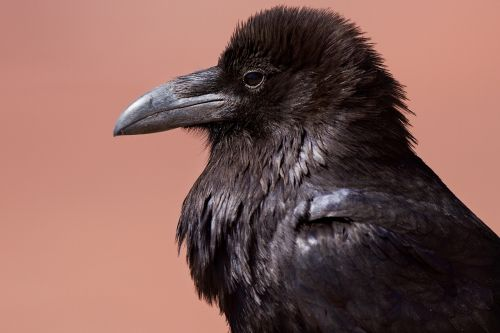 Varnas,juoda paukštis,corvus,varna,juoda,paukštis,baisu,plunksna,laukinė gamta,gamta,tamsi,profilis,portretas