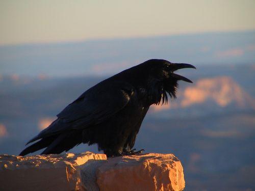 Varnas,juoda paukštis,corvus,varna,juoda,paukštis,baisu,plunksna,laukinė gamta,gamta,tamsi,profilis,portretas,sustingęs,žiūri