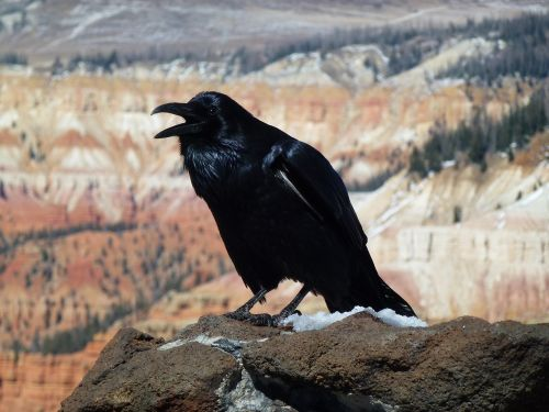 raven bird wildlife