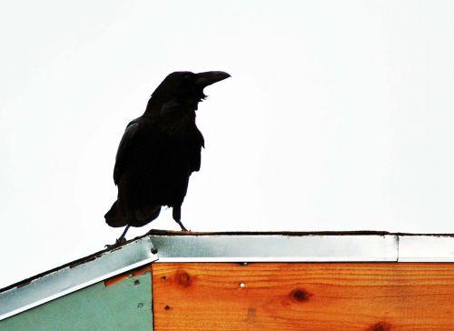 raven rooftop black