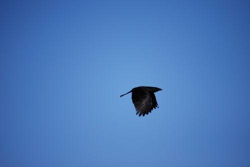 raven bird birds