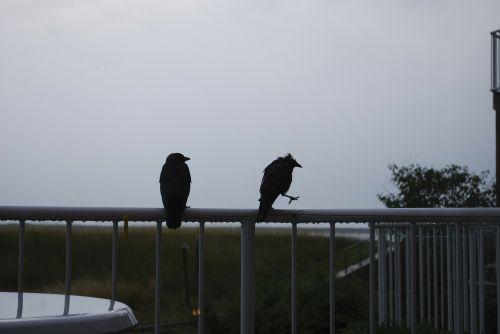 raven wet rain