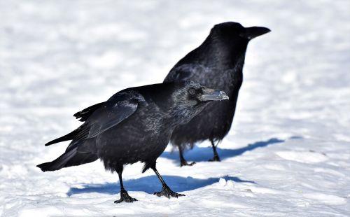 raven crow raven bird