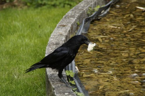 raven carrion crow prey