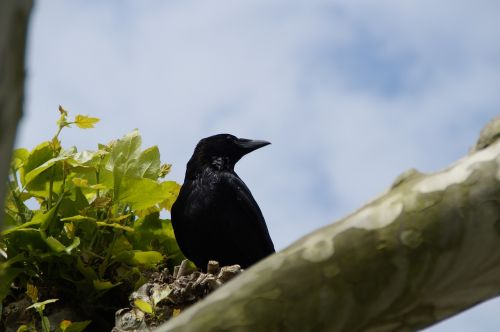 raven crow carrion crow