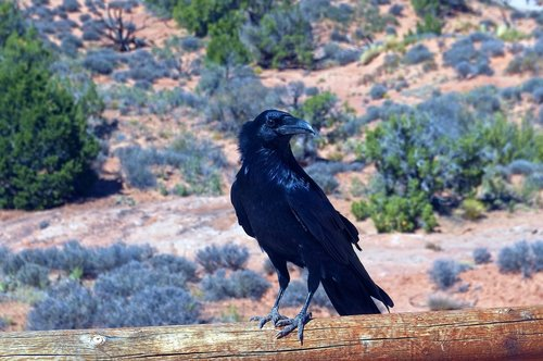 raven at arches  bird  animal