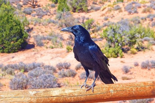 raven at arches national park  bird  animal