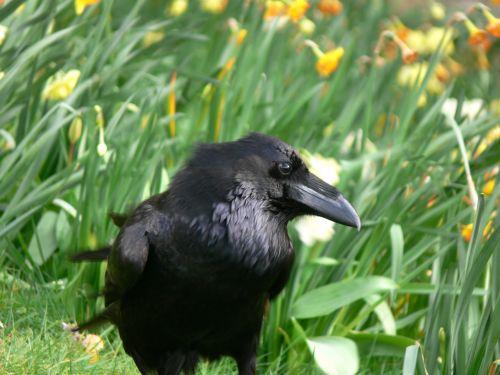 Raven In Grass