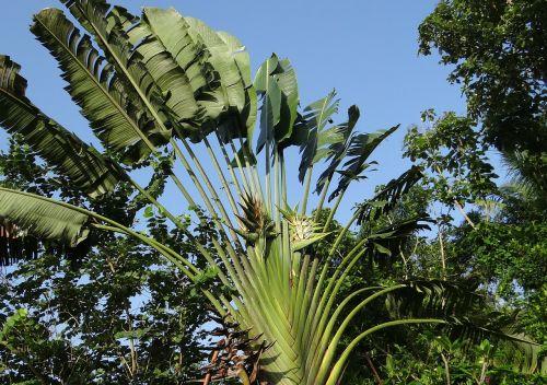 ravenala madagascariensis traveller's tree traveller's palm