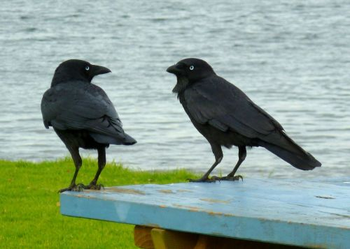 ravens black birds conversation