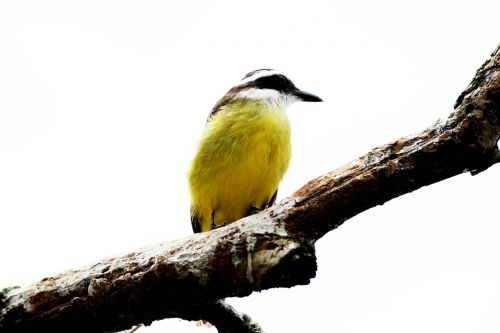 ray bird brasileira