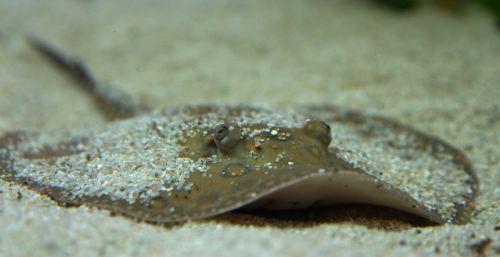 rays animals underwater