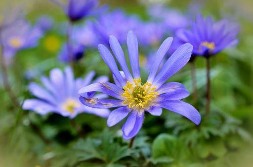 rays anemones anemones blossom